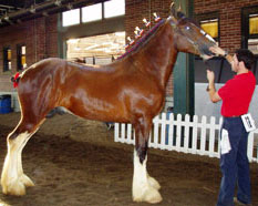 Clydesdales for sale